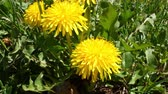 vibrante : Close video of a springtime dandelion moving about in a breeze.