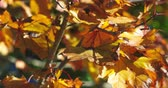 kurutulmuş : Close video of fall foliage maple leaves waving in a gentle breeze. Stok Video