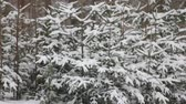 Snow falling during a snowstorm on several small spruce trees.