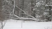 A back yard in the winter during a snowstorm with  the focus on a fallen tree near the forest edge.