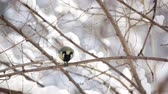 семя : Small Tit eating seed on the snowy branch