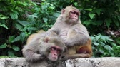 inseto : Two monkeys searching fleas in their fur near Swayambhunath stupa in Kathmandu, Nepal