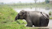conservação : Elephant taking a bath in the river of Chitwan national park, Nepal