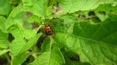 colorado potato beetle : Colorado beetle very close up on potato leaves in the breeze Stock Footage
