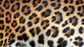 tüylü : Slow motion of moving real leopard hair. Animal background abstract natural animation