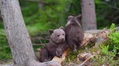 забавный : Bear cubs in forest Стоковые видеозаписи