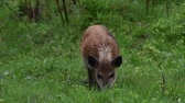 omnivore : Wild boar in forest Stock Footage