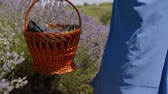 Midsection of trendy woman in blue dress walking in lavender field with picnic basket running over fragrant lavender blossoms. Rear view of female with wicker basket taking a stroll in floral glade.