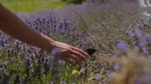 Close-up female hand softly touching butterfly in blooming lavender field during summer vacations. Relaxed woman enjoying unity with beautiful nature in fragrant lavender blossoms. Stockvideo