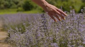 Close-up of female hands softly touching blooming lavender flowers on sunny summer day. Female hand gently running over the tops of lavender bushes in bloom in countryside during vacations. Stockvideo