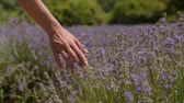 Close-up female hand gently touching purple flowers in lavender field during summer vacations. Woman enjoying unity with nature and runs her hand gently over fragrant lavender blossoms in countryside.