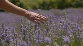 Close-up of female traveler runs her hand over a lavender shrubs on beautiful summer day. Womans hand gently touching lavender stalks blossoming while enjoying a walk in floral glade in countryside.