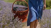 Female with wicker basket walking in blooming lavender field on summer day. Midsection of woman in blue dress stepping on dusty footpath with picnic basket sliding over fragrant lavender blossoms.