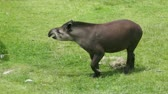alışılmadık : A tapir beckoning his pig like snout into the distance, turning around and then walking off the other side of the frame.