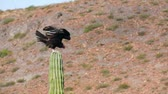 tollazat : A turkey vulture sitting on top of a cactus in the desert stretching out his wings in the sun.