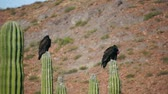 galinha : Two turkey vultures roosting on top of cactus while cleaning their feathers and bodies.