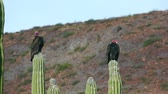 tollazat : Two turkey vultures resting while roosted on top of cactus in the desert and hot sun. Stock mozgókép