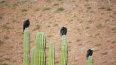 tollazat : Three turkey vultures roosting on top of cactus while cleaning their feathers and bodies. Stock mozgókép