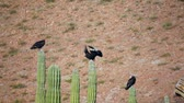 pustý : Three turkey vultures roosting on top of cactus while one of them stretches out its wings in the hot desert sun.