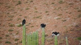 galinha : Three turkey vultures roosting on top of cactus with two of the vultures holding their wings out for the sun rays to hit them. Stock Footage