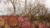 sequia : Violeta Prickly Pear Cactus Dolly