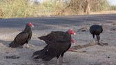 pençe : Vultures Fighting over Road Kill