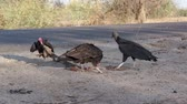 pençe : Vulture Steals Roadkill Carcass