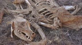 handheld : Carcass Skeleton Dead Animal Stock Footage