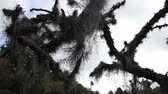 malzemeleri : Low angle dolly shot of creepy and scary looking Spanish Moss, used as the filer material in evaporative coolers, hanging from dead tree branches and moving in the breeze with the sky in the background. Stok Video