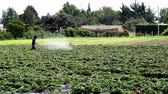 produtos químicos : Long shot of an anonymous man liberally spraying an industrial strawberry growing field with an unknown product that could be a fertilizer, insecticide or herbicide.