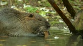 bóbr : Cute wild furry coypu river rat, nutria eating on riverside near the green grass, close up Wideo