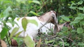 domestic : Domestic goats eating green leaves Stock Footage