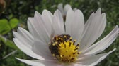 picar : bee on white flower Stock Footage