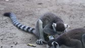 catta :  Lemur catta eating banana at daytime HD.