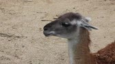 contrastes : Guanaco (Lama Guanicoe) resting on the warm sand Stock Footage