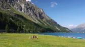 On the pasture near the Lake Sils. It is a lake in the Upper Engadine valley, Grisons, Switzerland.