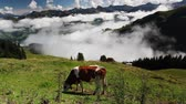Cows on the mountain pastures in Austria Stock Footage