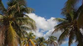 Coconut tree under blue sky with sunlight. Photographed from below Stock Footage