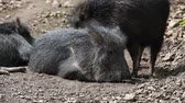 Chacoan Peccary (Catagonus Wagneri) heated in the sun. Stock Footage