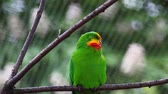 Superb parrot (Polytelis swainsonii) resting on a tree Stock Footage