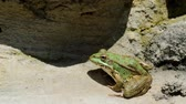 colorful : Common frog, sitting in garden pond edge and jumping at the clip end