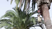 destructive : Phoenix canariensis palm tree cleaning and treatment as part of Rinchoforus ferrugineus red palm weevil pest control in mediterranean countries. Algarve Portugal.