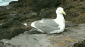 Peaceful gull sits on the seawall  with views to the rocky headland.