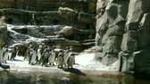 siyah beyaz : Humboldt penguins standing as a group ,Pacific Northwest