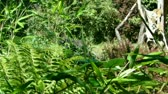macaco : Gorilla camouflaged by ferns and bushes