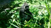 macaco : Gorilla gets up and walks away through brush
