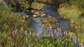 lupine : flowers by mountain creek Stock Footage