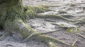 raiz : Pan Shot: Close-up of Roots And Trunk of An Old Beech Tree