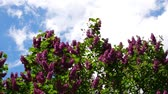 syringa : Common Lilac, Syringa Vulgaris, Against A Blue Cloudy Sky, Zoom