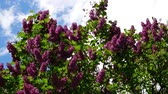 leylak : Common Lilac, Syringa Vulgaris, Against A Blue Cloudy Sky, Pan Shot Stok Video